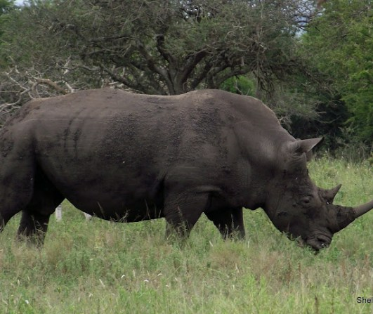 White Rhino at the Hluhluwe Imfolozi Game Reserv