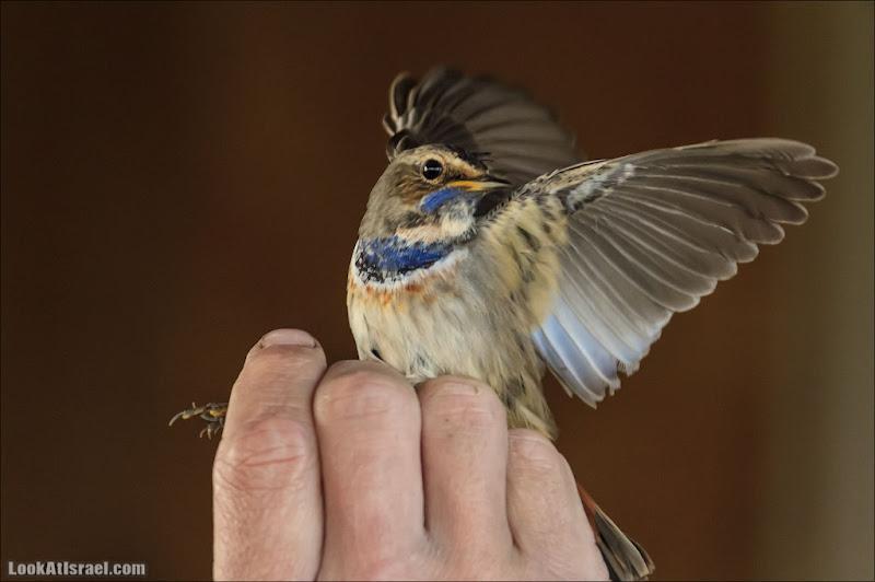 Кольцевание птиц. Как это делается