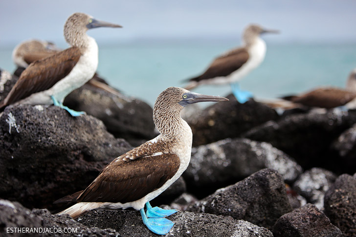 Galapagos Blue Footed Booby bird colony in the Wetlands Isabela Island.