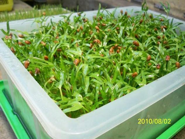 有機空心菜苗培育紀錄2010:太平洋有機農藝-芽菜種子/芽菜機/豆芽機/芽菜箱/水耕盤
