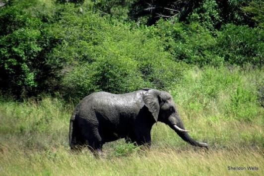 Elepahant at hluhluwe imfolozi game reserve