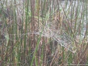 Telarañas en los Juncos, Humedal El Salitre