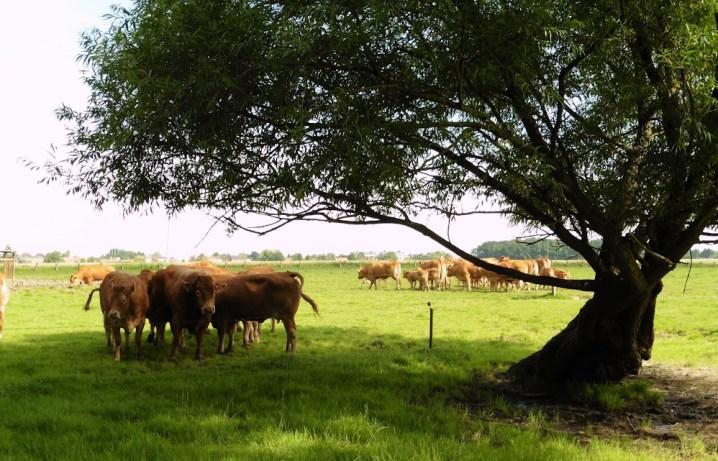 Limousin-runderen bij la Ferme de Bettignies