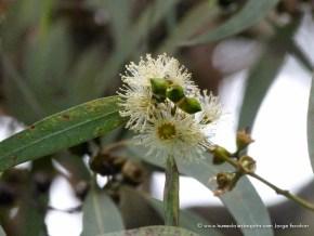 Flor Eucalipto, Humedal El Salitre