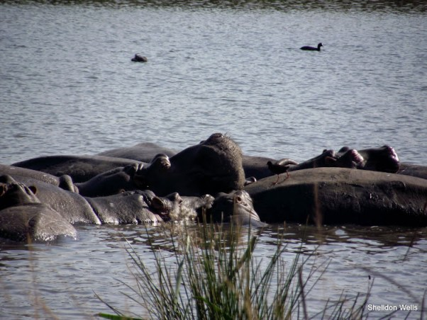 raft of hippo at tala game reserve, durban, south africa