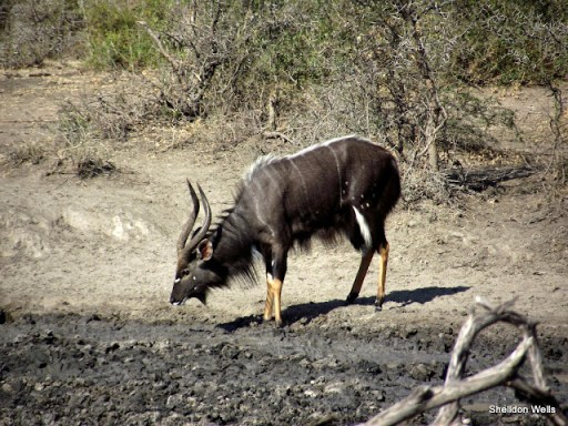 nyala buck at hluhluwe imfolozi game reserve