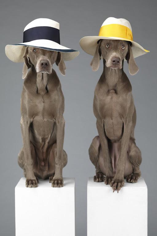*Hat Dogs:美國攝影師William Wegman展現拿手獵狗展秀拍攝絕活! 1