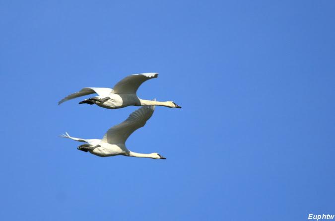 蔚藍手札: 比翼雙飛—號手天鵝