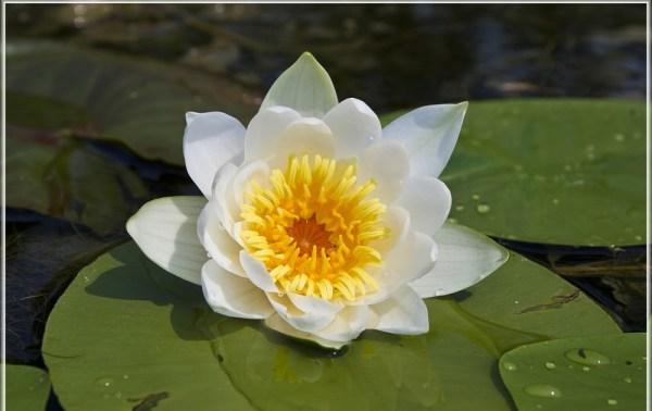 счулс: фото лилия речная