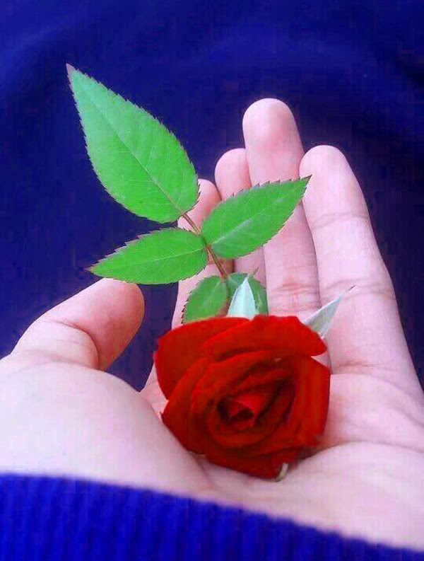 Are you looking for beautiful flower images for whatsapp dp, then you have come to the right place, here you have got the rose flower images. Beautiful Flowers Rose Images Hd Whatsapp Dp - រូបភាពប្លុក ...