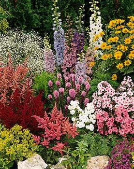 stenoz: цветы для дачи фото многолетники