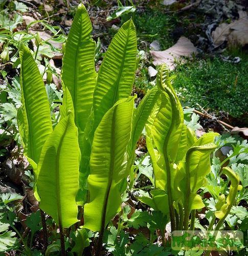 proezd: папоротник filicopsida фото и название