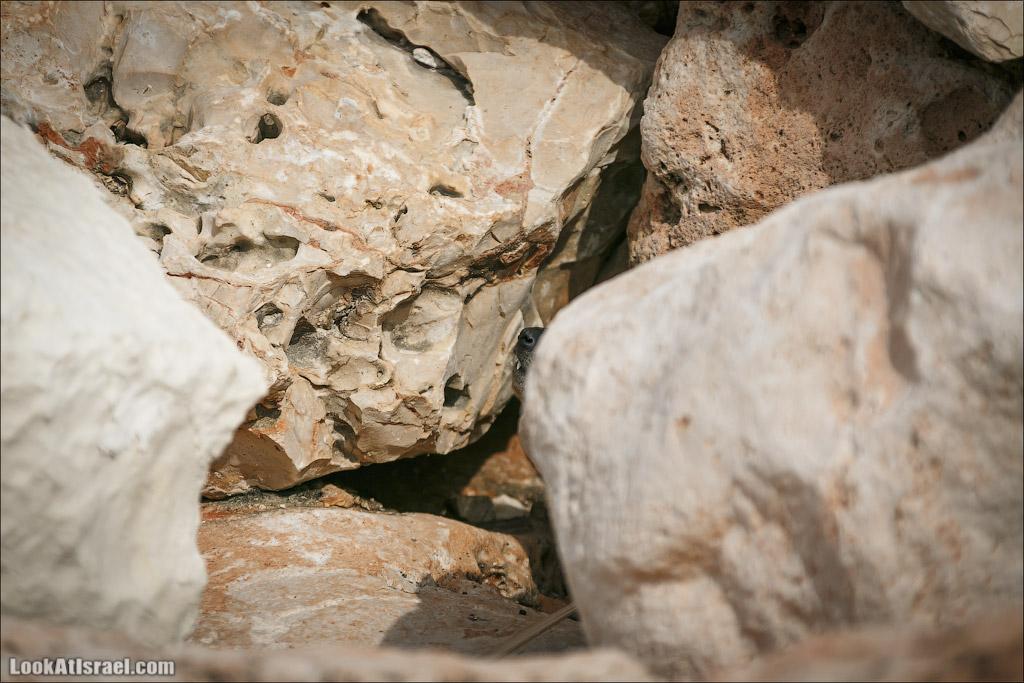 Даманы - израильские родственники слонов   LookAtIsrael.com - Фото путешествия по Израилю