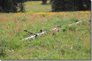 Wildflowers, on slope of Sawtell Peak, Centennial Mountains, Island Park, ID