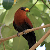Yellow-Billed Malkoha 02.jpg