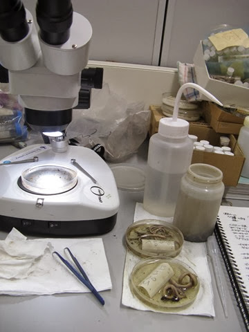 Sorting and identifying NERC BESS earthworm samples