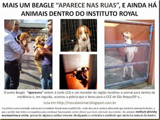 beagles-royal