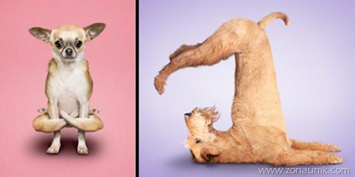 Anjing Senam Yoga (1)