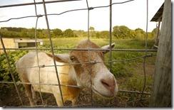 goat (2)