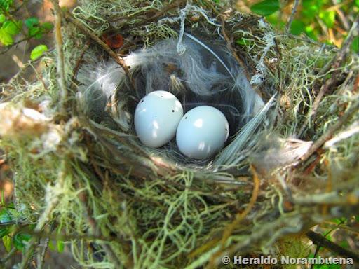 Nido de fío-fío (Elaenia albiceps)