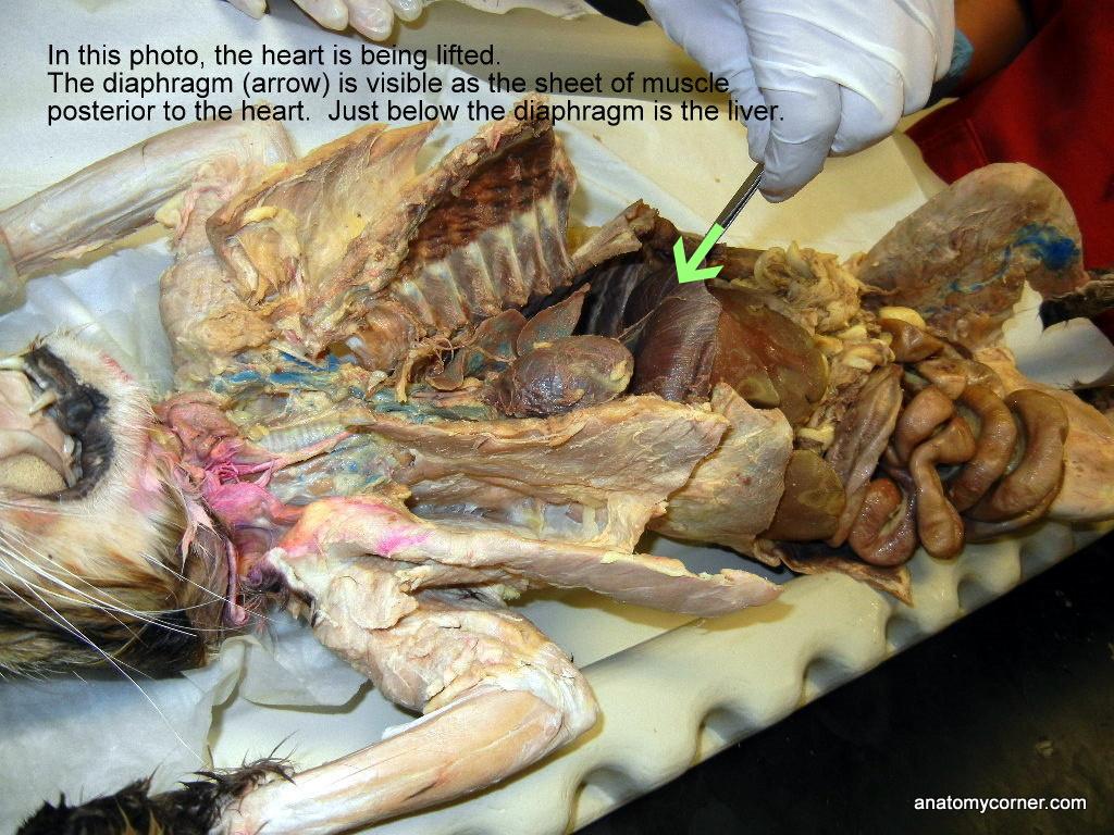 Cat Body Cavity L