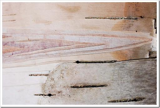 pink birch bark
