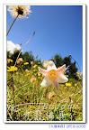 LIFE IS GOOD~夏日上山小旅行~被環山圍繞著的福壽山農場~蘋果樹和貓耳葉菊及野百合