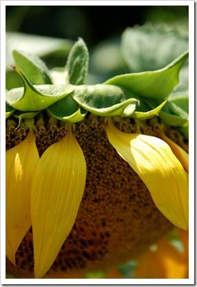 Sunflower Face Down