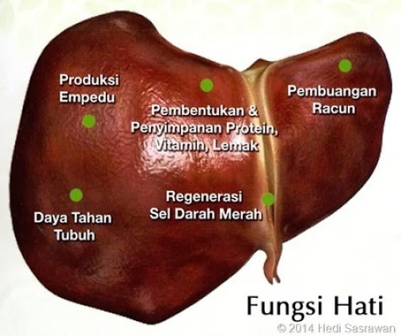 Bagian-Bagian Hati Manusia Beserta Fungsinya dalam Sistem Ekskresi