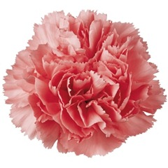 Light_Pink_Carnation_Flower_300