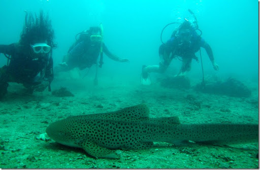 Leopard Shark Thailand