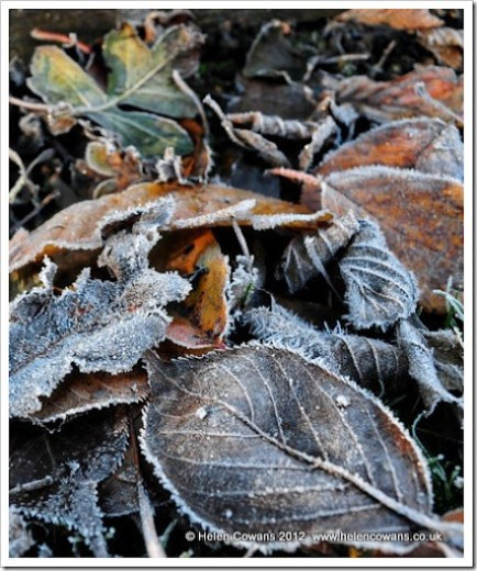 Frosty leaves 5
