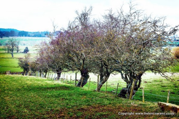 Rowan trees action 221