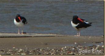 Birding south beach_081
