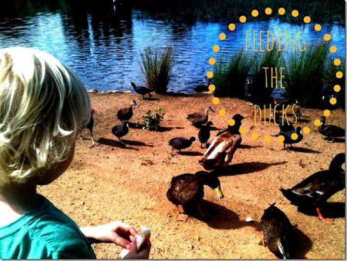 feeding the ducks with ov
