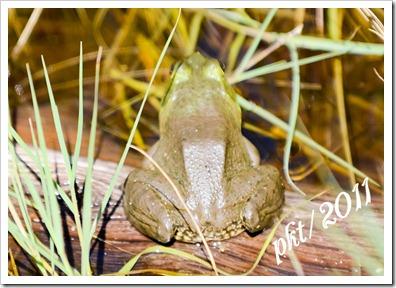 DSC_1352-(2)frog-on-a-log