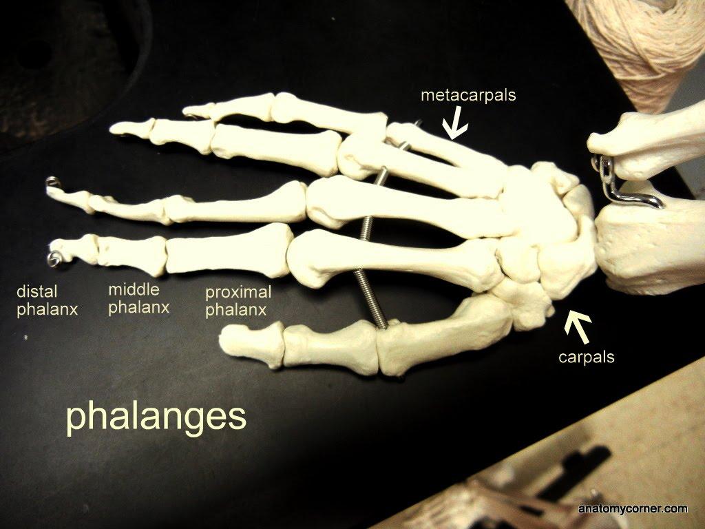 Hand Metacarpals Labeled