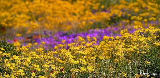 Namaqualand-flores-2