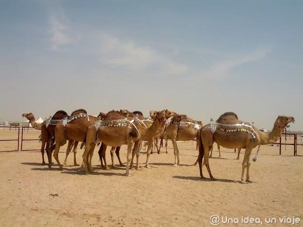 Qatar-Doha-Camellos-5.jpg