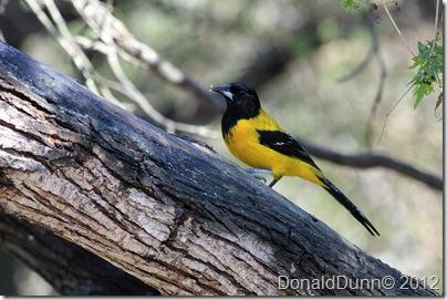 Audubon's oriole, Salineno, Texas