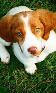 Brittany Spaniel Wallpapers screenshot 0