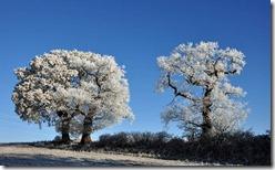 Pound Lane trees