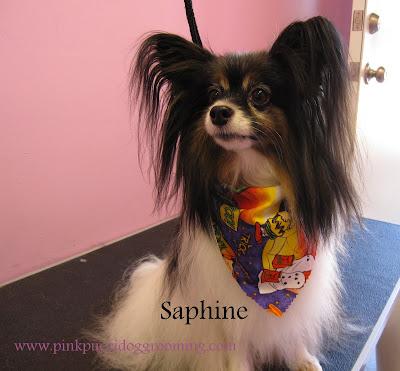 Saphine the Papillon