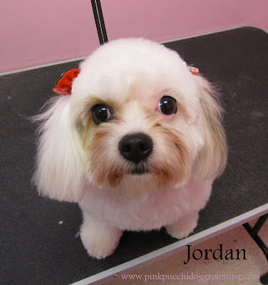 Jordan The Cavachon