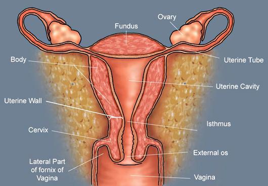 The uterus labeled
