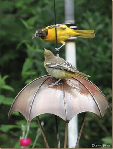 birds at feeder_20090623_008
