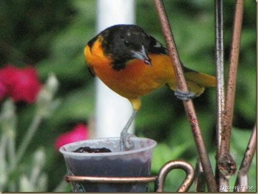 birds at feeder_20090623_013