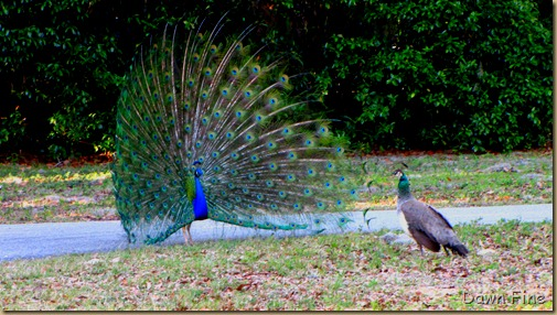 Peacocks @Magnolia Park, Apopka Florida_089