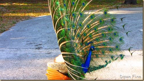 Peacocks @Magnolia Park, Apopka Florida_113