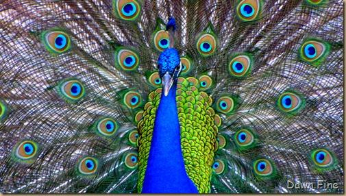 Peacocks @Magnolia Park, Apopka Florida_103